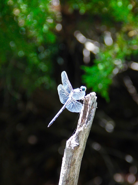 Dragon Fly:40x30:300dpi.jpg