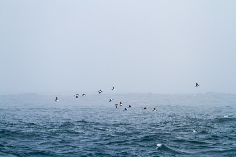 Day 26 - Puffins - St Johns-1.jpg