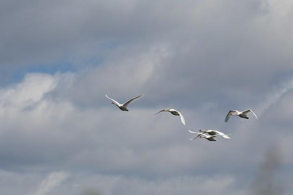 2015 - Swans