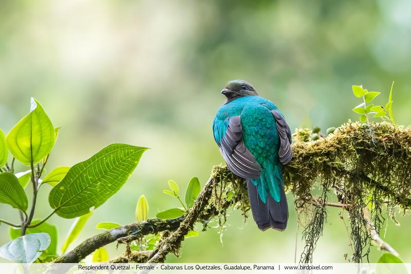 Resplendent Quetzal - Female - Cabanas Los Quetzales, Guadalupe, Panama