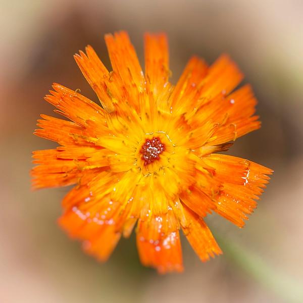 Fleur orange Lac 001a.jpg
