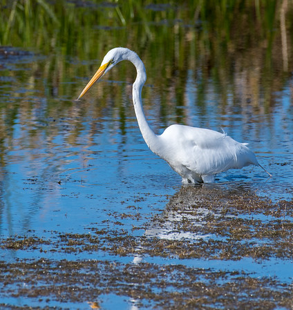 Great egret waiting to stab a fish