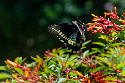 Swallowtail - Polydamas