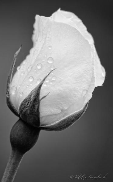 Branca rosa