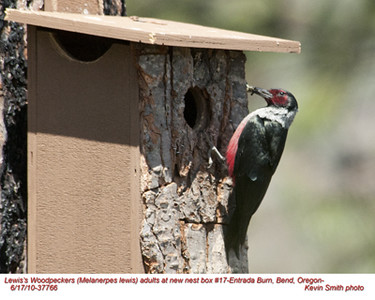 Lewis'WoodpeckerA37766.jpg