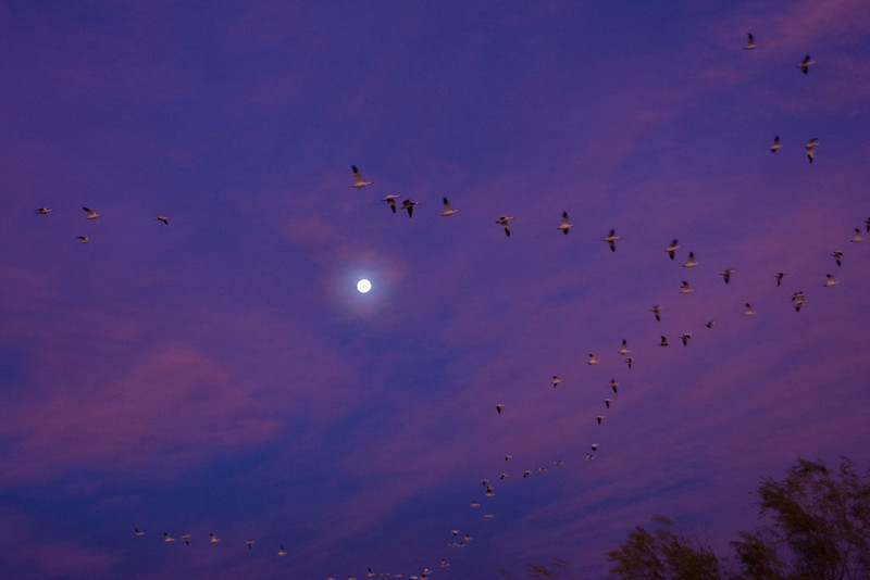 I turned around and found flocks of the snow geese flying in front of the moon. The sun is up just far enough to light up these clouds.