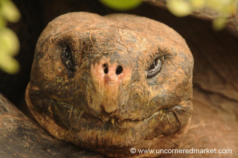 Giant Tortoise Portrait - Galapagos Islands