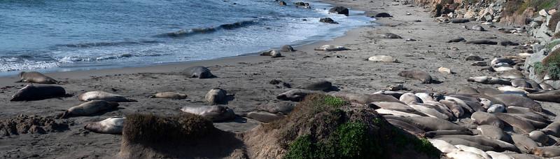 Elephant Seals at Piedras Blancas, CA - December 2010