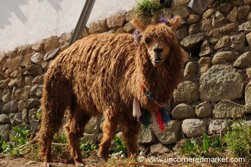 Shaggy Llama - Cusco, Peru