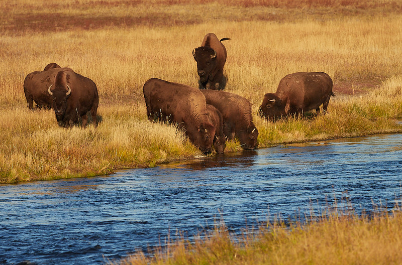 Bison drinking from the Madison river