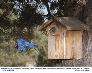 Western Bluebirds P90259.jpg