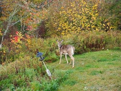 Deer! October 2016