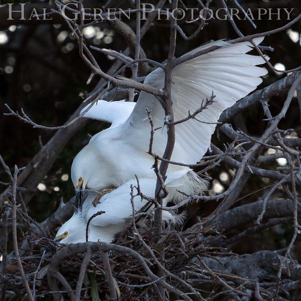 Snowy Egret love Newark, California 1304N-SE36L