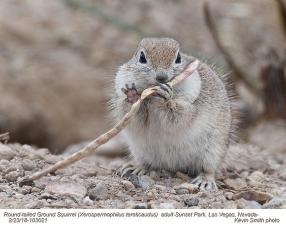 Round-tailed Ground Squirrel A103021.jpg
