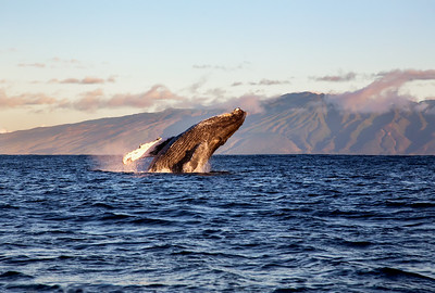 Kohola - The Whales of Hawai'i