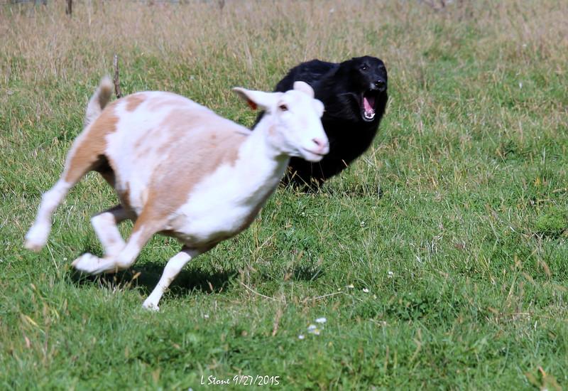 2015.9.27 Herding at Bonnies (44).JPG