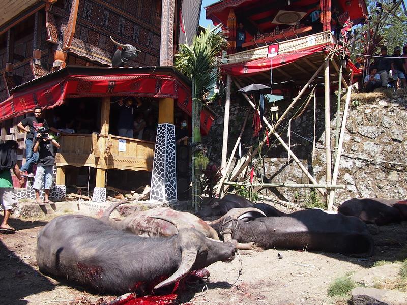 P9048753-dying-buffalo.JPG