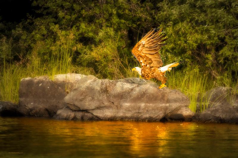 """""""Sunrising Eagle"""""""