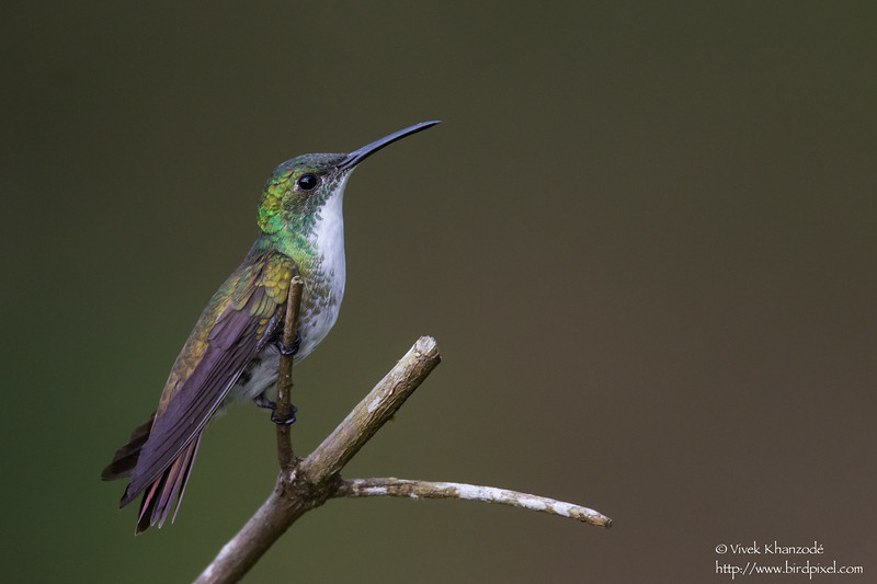 White-chested Emerald - Asa Wright Nature Center, Trinidad