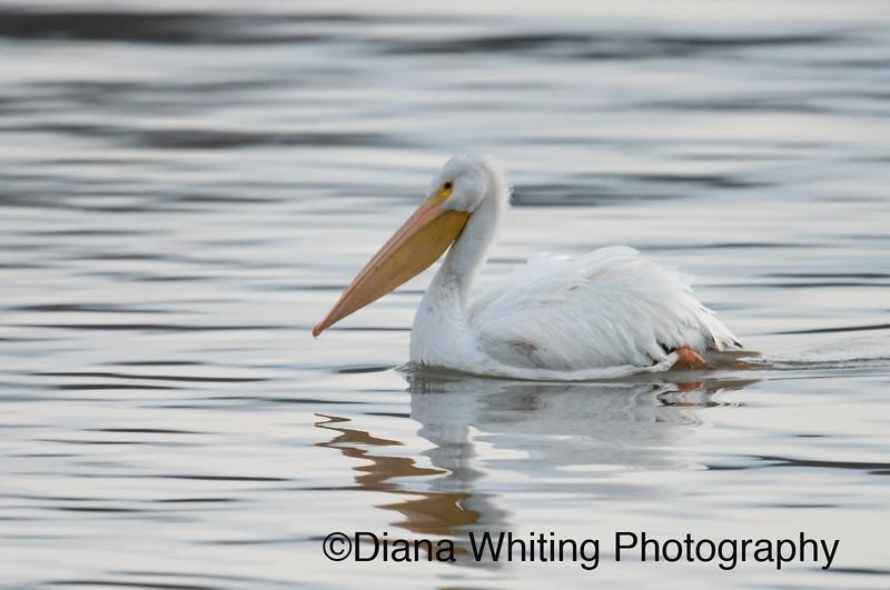 White Pelican Onondaga Lake.jpg