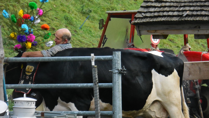 man putting on colorful adornment on a cow