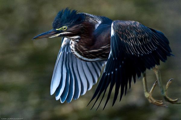 5Rivers More Blue Heron 2009-7-27