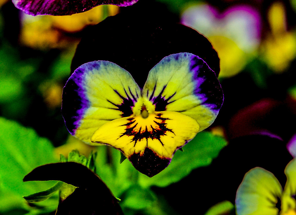 ". ""Cat in a Pansy\"" - Sharp-eyed Cindy Hill spied the whimsy in this bloom�s striking colors in Alexandria, Va.  Photo by Cindy Hill"