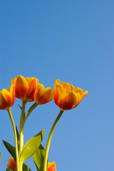 Tulips outdoor_26.jpg