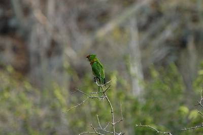 Maroon-fronted Parakeet