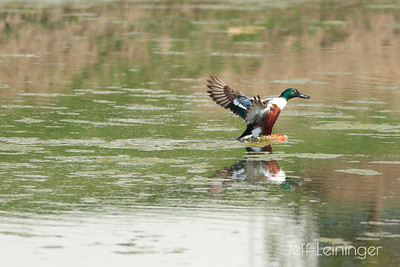 Ducks on a pond.