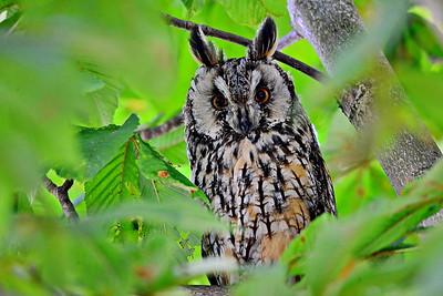 Eulen, Schleiereulen - Owls