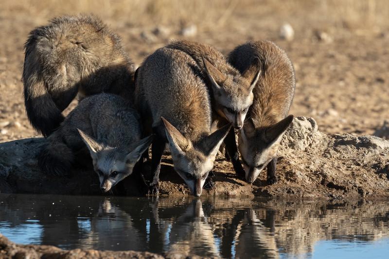 Bat-eared Foxes drinking