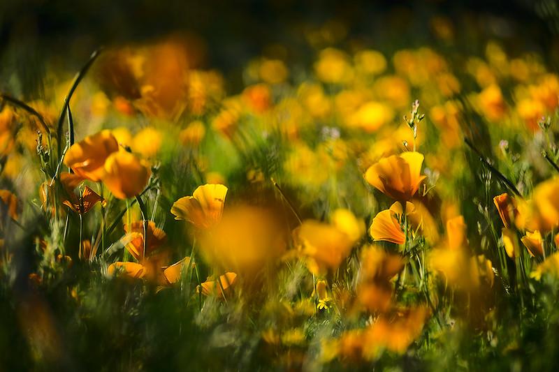 Poppy field, Peridot Mesa