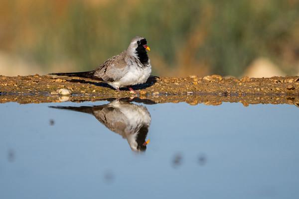 Pigeon & Dove -יוניים