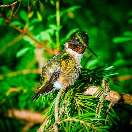 Ruby Throat Hummingbirds