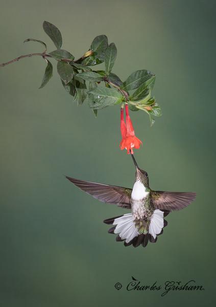 hummingbird multiflash guango lodge ecuador february 2019-5.jpg