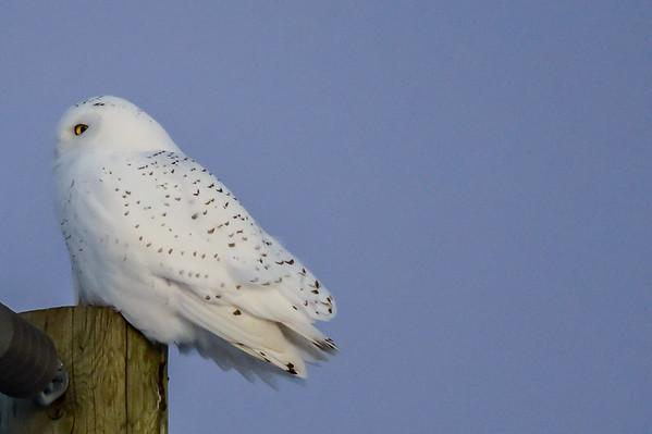 12-30-15 Snowy Owl - Dusk