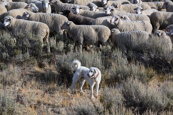 Trailing of Sheep