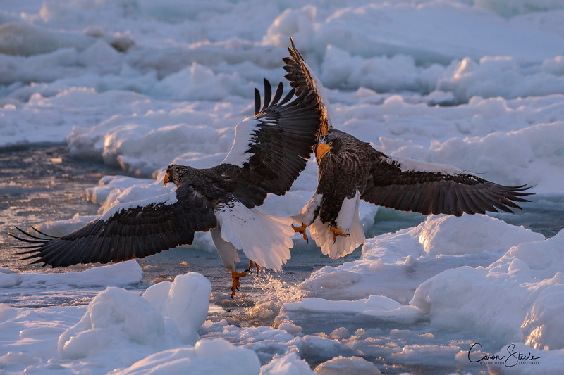 Talons at Dawn - Steller's sea Eagles do battle at first light just off the coast of `Hokkaido Japan