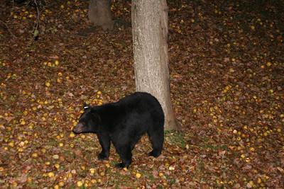 Bear in Back Yard