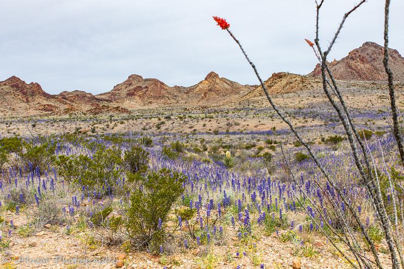 Bluebonnets across the Chihuahuan Desert