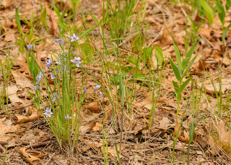 American blue-eyed-grass or Strict Blue-eyed-grass at DuPont Natural Area, East Chicago, IN
