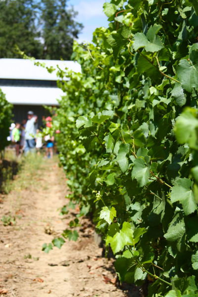 ARMSTRONG VINEYARD JULY 2013