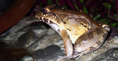 Smoky Jungle Frog - the world's largest frog