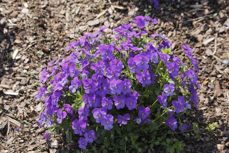 sorbet icy blue violas