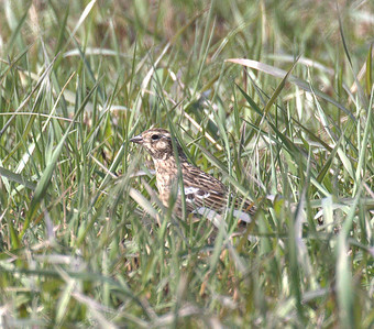 2015 Smith's Longs;purs - Orland Grasslands