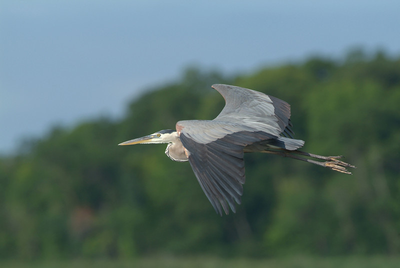 Blue Heron, Carver Park