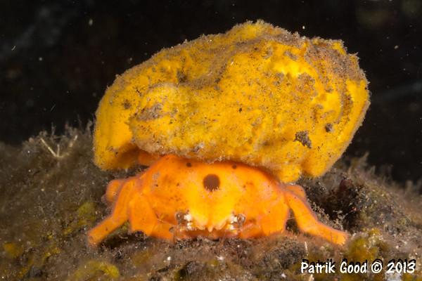 Yellow Sponge Crab