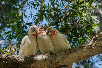 Long-billed Corella [Cacatua tenuirostris]
