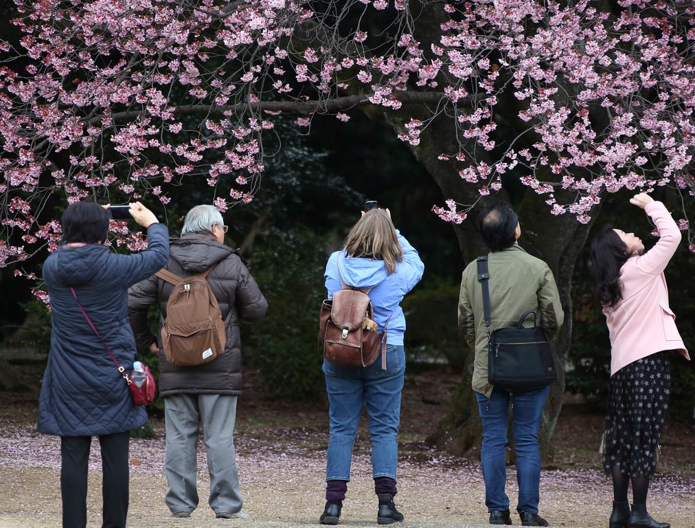 ". Visitors take a pictures of early blooming cherry blossom, called \""Kanzakura\"" at the Shinjuku Gyoen National Garden in Tokyo, Saturday, March 10, 2018. (AP Photo/Koji Sasahara)"